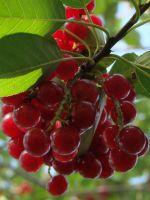 Красная черемуха - польза и вред