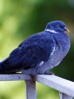 К чему прилетает голубь на балкон?