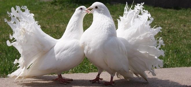 Приметы связанные с птицами голубями