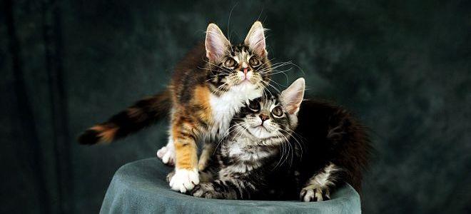 Сонник миллера котенок трехцветный