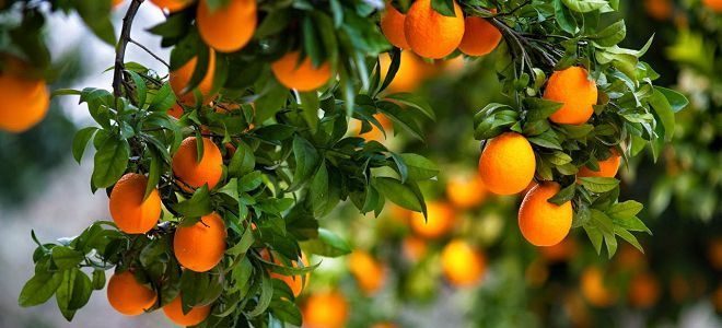 Полезны ли мандарины