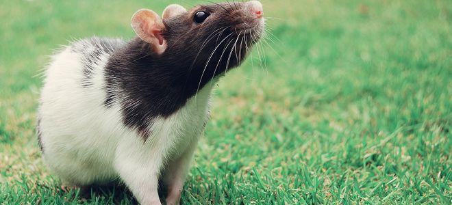 крыса снится во сне