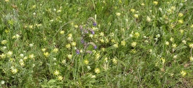 астрагал трава фото применение
