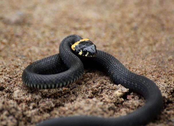 в сонах увидищ чорную змея плавание