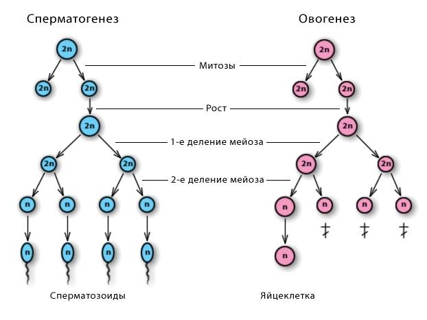 Период созревания сперм