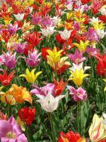 Когда пересаживать тюльпаны?