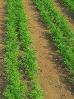 Морковь – посадка и уход в открытом грунте