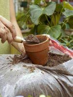 Катарантус выращивание из семян