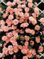 Зимостойкие сорта роз