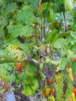Тля на помидорах: как избавиться раз и навсегда 92