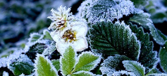 Укрыть клубнику на зиму