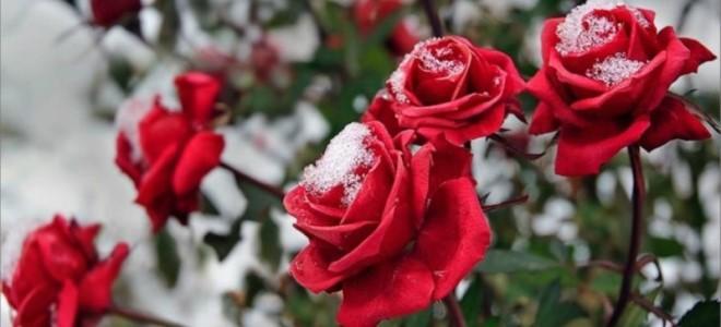 Чем укрыть розы на зиму