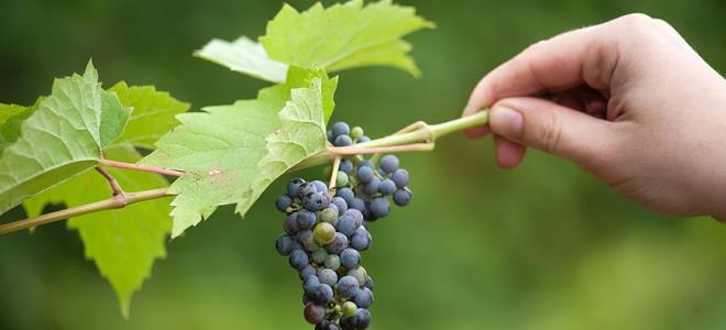 Виноград укрыть на зиму