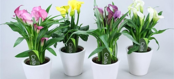 Выращивание каллы в домашних условиях