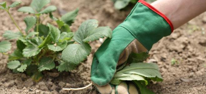 Чем обработать осенью клубнику от вредителей
