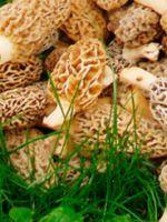 Как готовить сморчки - лучшие рецепты приготовления весенних грибов