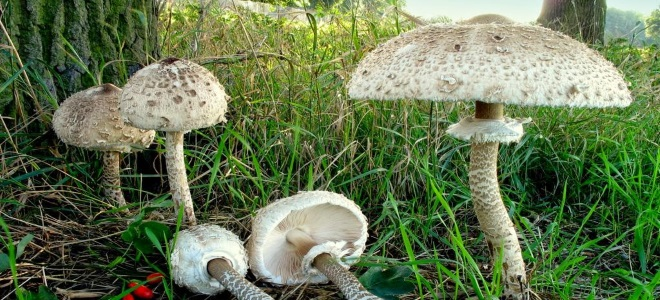 грибы зонтики польза и вред