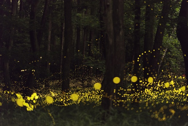 Светлячки в японском лесу