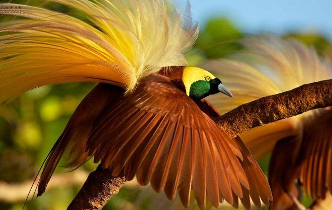 большая райская птица