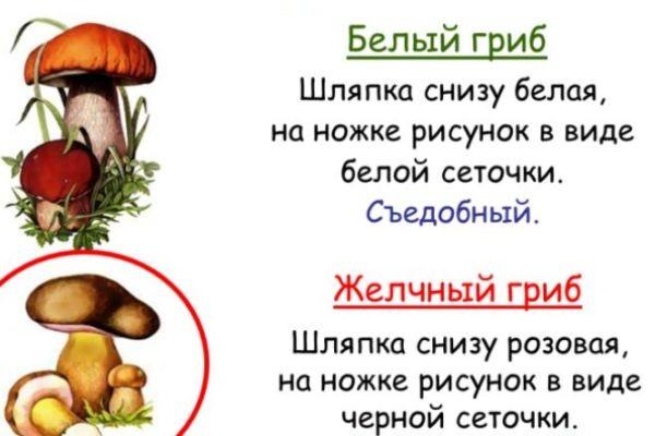 ложный белый гриб фото описание