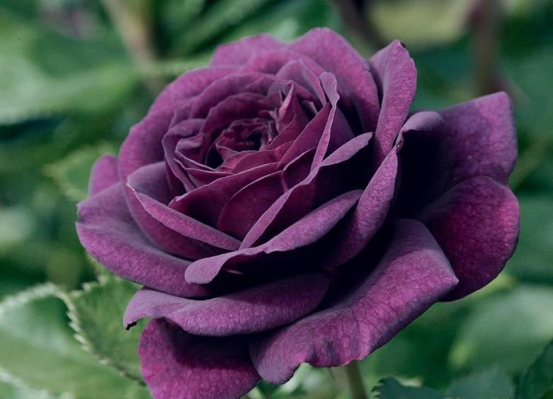 розы на зиму