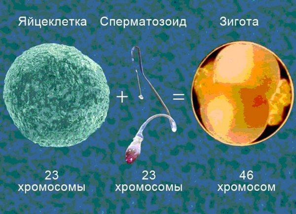 spermatozoid-cheloveka-soderzhit-hromosom