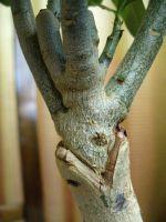 Черный рак у яблони лечение