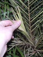 Финиковая пальма – сохнут листья