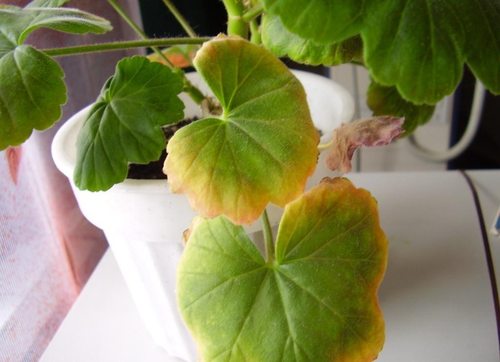 Почему у комнатной герани сохнут листья