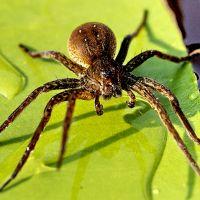 К чему снится паук черный