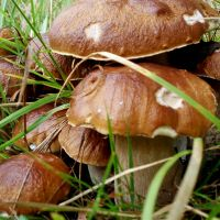 грибы коровники польза и вред