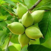 маньчжурский орех его польза и вред