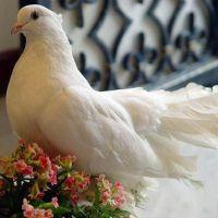 Что означает когда голубь на подоконнике