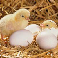 К чему еще снятся цыплята во сне