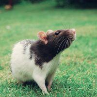 Сонник Крыса дохлая