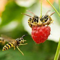К чему снятся осы очень много