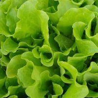 листья салата польза