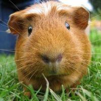 Пол морской свинки как определить