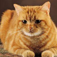 Простой кот рыжий