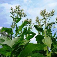 Все для выращивание табака в домашних условиях