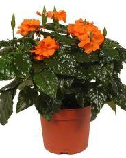 Яркий цветок кроссандра