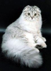 Вязка британской и шотланской кошек  что нужно об этом