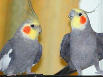 сколько жив т попугай