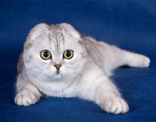 кошки шотландской породы фото вислоухие