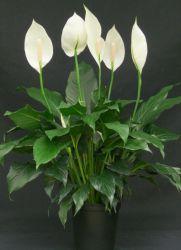 Женское счастье цветок приметы для женщин