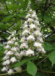 Лекарственные средства из цветков каштана заменить термостат как ваз