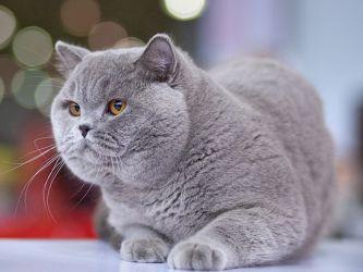Коты британцы особенности