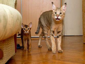 фото домашних больших кошек