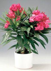Олеандр цветок уход в домашних условиях фото
