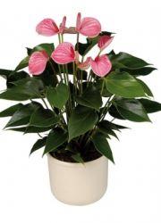 Цветок мужское счастье как ухаживать чтобы цвел